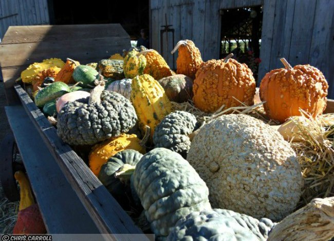 Enjoying Harvest Time with Heirloom Pumpkins