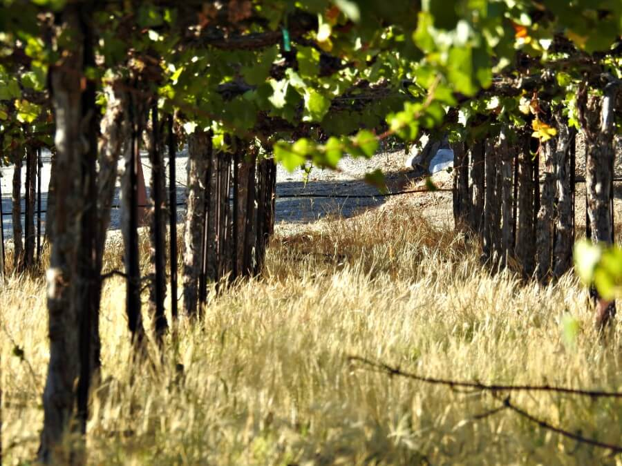 Autumn in California: Central Valley Vineyards